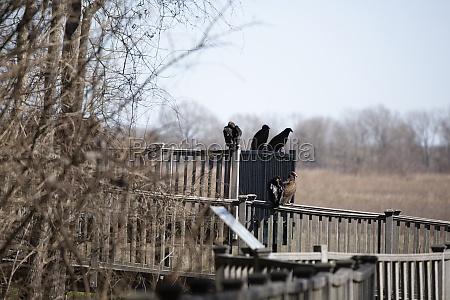 flock of vultures