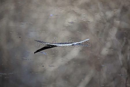 feather from a black vulture