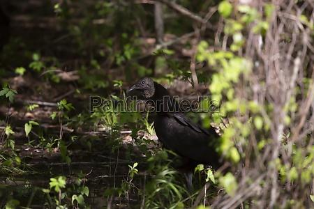 black vulture foraging