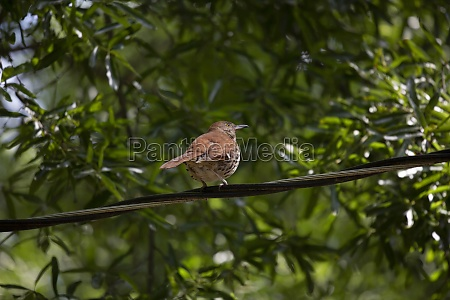 curious brown thrasher