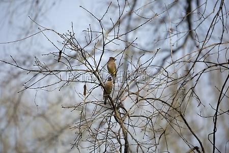 pair of cedar waxwing birds
