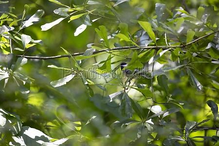 black capped chickadee on a limb