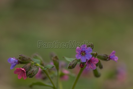fresh colorful lungwort in the nature