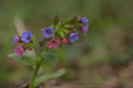 fresh colorful lungwort named lords and