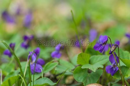 fresh fragrant violoet in soft green
