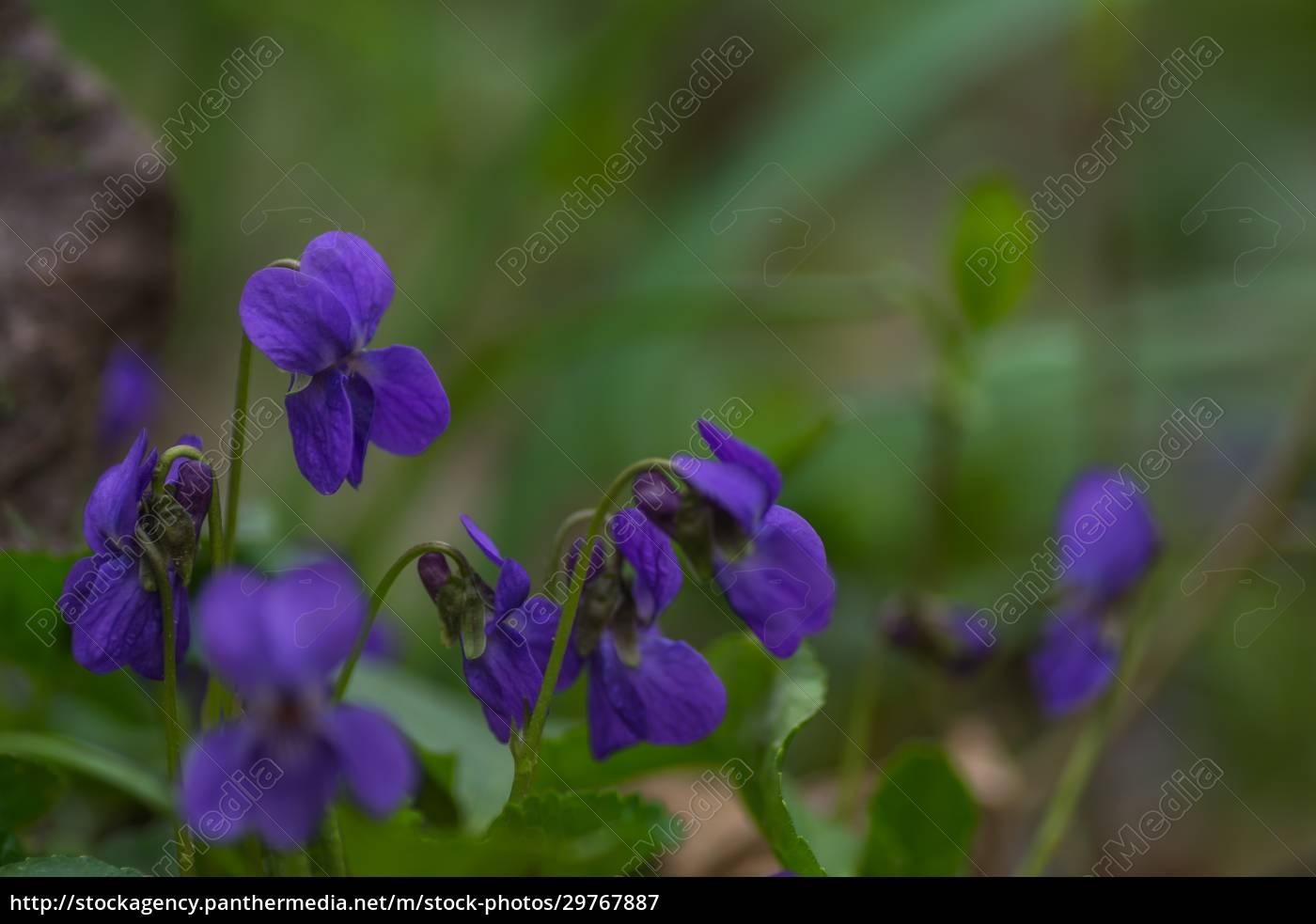 fresh, fragrant, violet, in, the, green - 29767887
