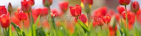 tulips in flowerbeds in the garden