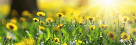 beautiful yellow dandelions on the spring