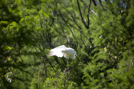great egret on a high perch