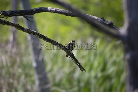 female red winged blackbird on a