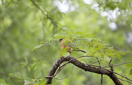 american robin on a tree limb