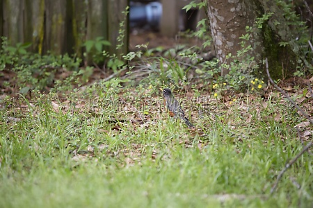 american robin foraging for food