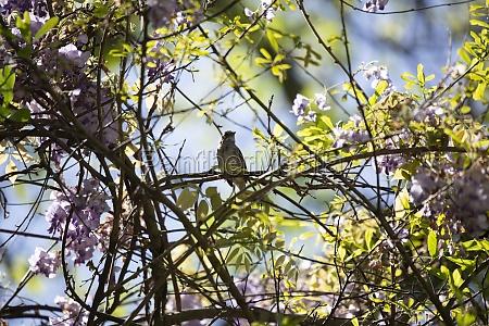 majestic sparrow