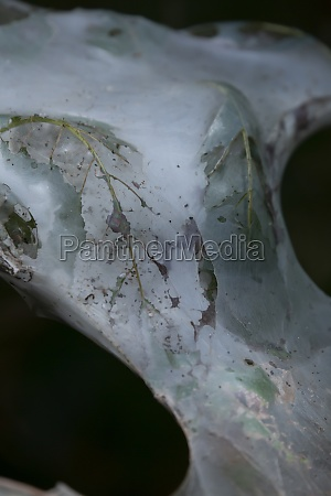 fall webworm cocoon