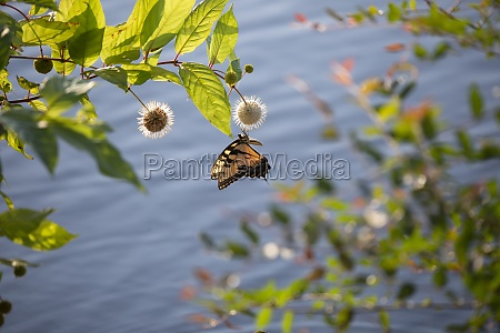 tiger swallowtail butterfly on buttonbush