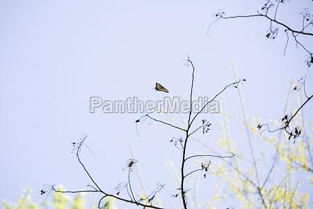 eastern tiger swallowtail butterfly in flight