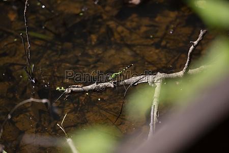 eastern pondhawk