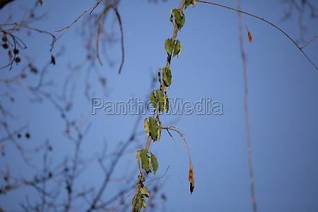 thick vine