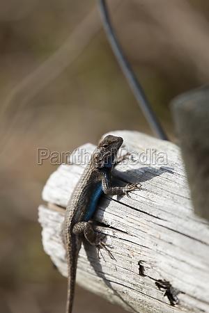 large male eastern fence lizard