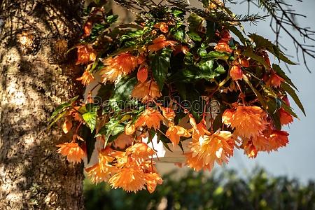 close up of begonia illumination orange