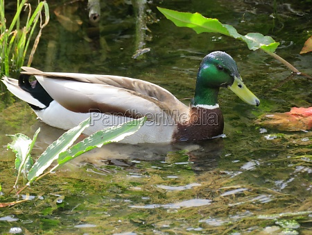 beautiful duck colored feathers water swim