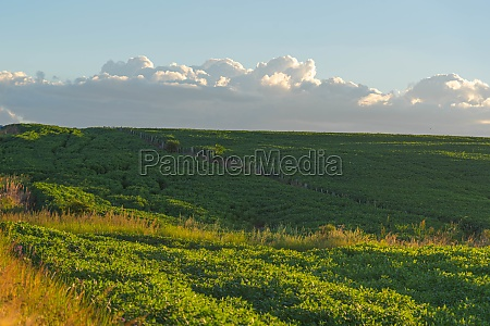 evening over soybean farm area in