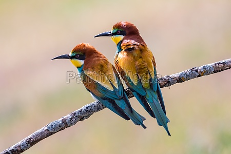 beautiful bee eaters perched on a