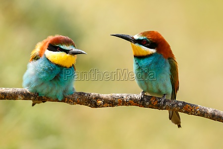 couple of bee eaters