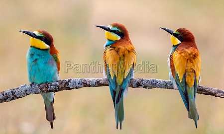meeting of four bee eaters