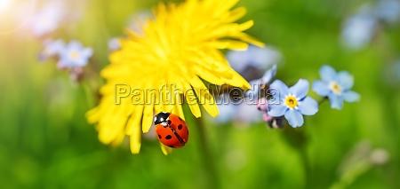 dandelion flower with ladybird on it