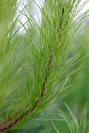 detailed view of pine tree branche