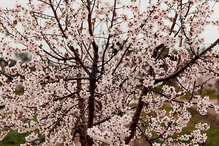 beautiful almond blossom i