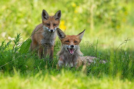 two red foxes resting on green