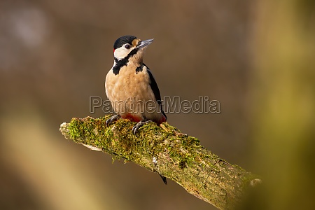 great spotted woodpecker sitting on mossed