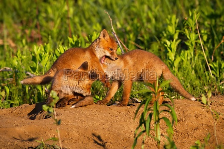 family red fox playing on den