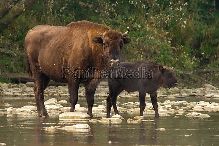 two european bisons crossing the water