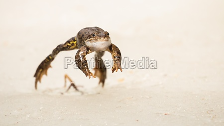common frog jumping forward on snow
