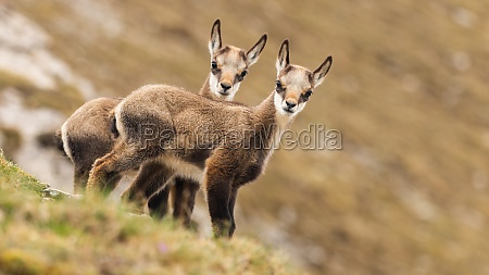 two young tatra chamois kids looking