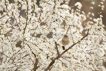willow warbler sitting on blossoming tree