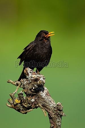 common blackbird sitting on wood in