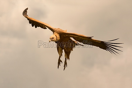 big brown vulture in flight