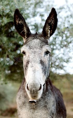 funny portrait of a grey donkey