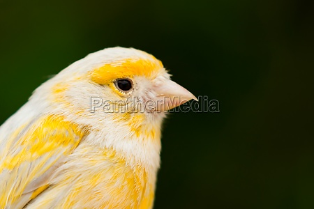beautiful yellow canary