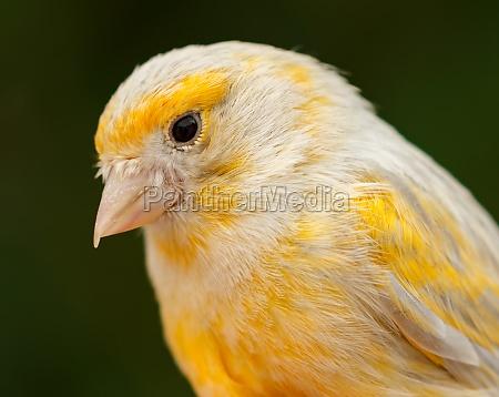 beautiful yellow canary