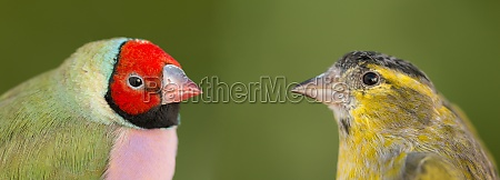 beautiful bird with red face looking
