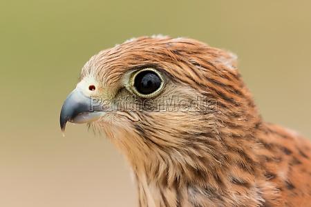 portrait of a young kestrel