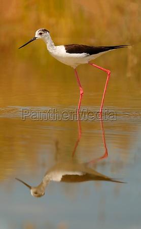 stilt in a spanish pond