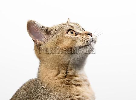 kitten golden ticked scottish chinchilla straight