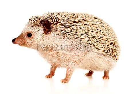 nice pet brown hedgehog