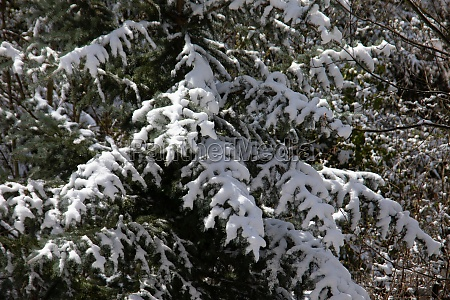 snow covered conifers